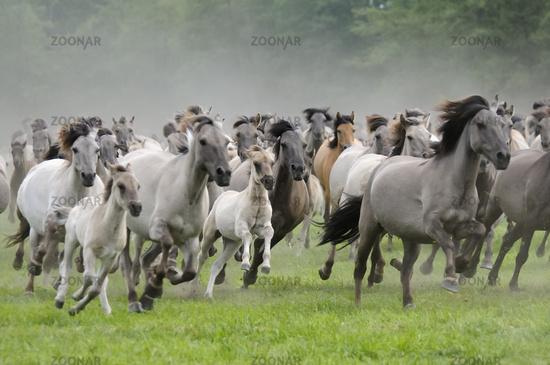 Foto Duelmener Wildpferde, galoppierende Herde, wild herd of ... | {Herde 33}