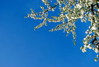 Branch of a blossoming pear in sky background