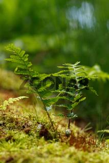 Farn im Wald