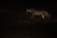 Jagender Leopard bei Nacht, nachts