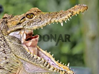 Open Jawed American crocodile (Crocodylus acutus) Mexico