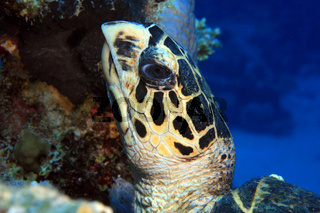 Echte Karettschildkröte, Hawksbill Sea Turtle, Eretmochelys imbricata