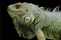 Portrait eines grünen Leguans
