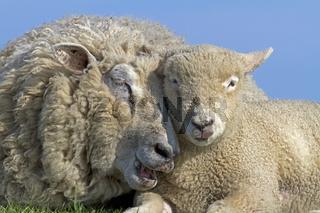 Schafe (Ovis aries)