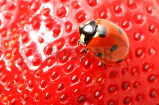 strawberry ladybug gourmet macro close up
