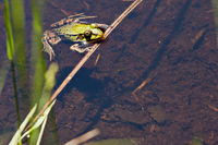 Teichfrosch (Pelophylax 