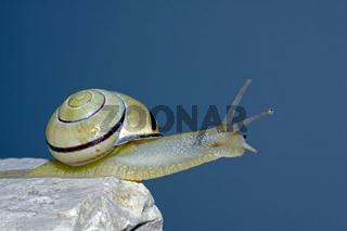 Hain-Schnirkelschnecke Cepaea nemoralis