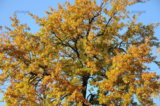 Foto Quercus Robur Stieleiche German Oak Herbst Bild 2935882