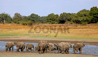 Elefantenherde am Fluss im South Luangwa Nationalpark, Sambia; Loxodonta africana; Elephants at a river in South Luangwa National Park, Zambia