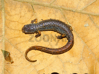 Four-toed Salamander in Illinois
