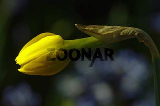 Gelbe Narzissenknospe- Narcissus