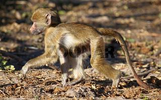 Steppenpavian, Gelber Pavian, Chobe, Botswana; papio cynocephalus; savanna baboon, Chobe, Botsuana