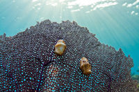Flamingo tongue Gastropod