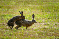 European Hares in Love