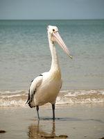 Brillen-Pelikan am Meer