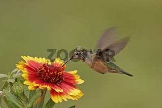 Broad-tailed hummingbird at Indian Blanket flower