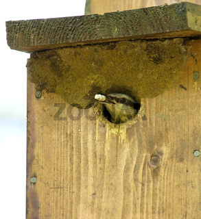 Eurasian Nuthatch leaving nestbox with Fecal or Faecal Sac