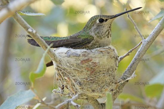 Calliope Hummingbird on nest (Selasphorus calliope)