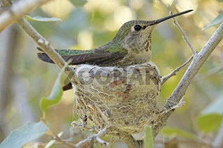 Calliope Hummingbird on nest (Selasphorus calliope)