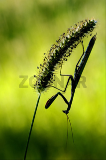 mantis religiosa and shadow