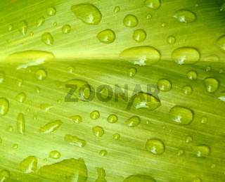 Nature Background Of Water Drops Of A Tropical Leaf