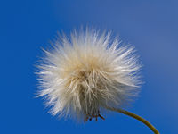 Fluffy sphere - sow-thistle seeds