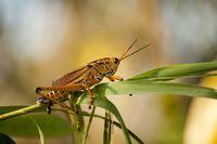 Kurzfühlerschrecke Romalea microptera im Nationalpark Everglades in Florida