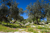 Ancient Road with Olive Trees