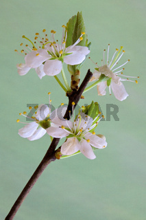 Schlehdorn, Prunus spinosa, Blackthorn