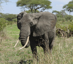 savannah scenery with african Elephant