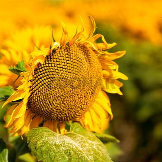 Sunflower, abstract macro backgrounds for your design