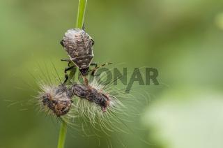 Zweizähnige Dornwanze (Picromerus bidens), Nymphe mit einer Raupe des Schwammspinners (Lymantria dispar) als Beute, Deutschland, Picromerus bidens with a caterpillar of the gypsy moth (Lymantria dispar) as prey, Germany