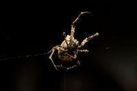Tiny Garden spider