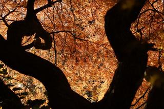 Geschlitzter Fächerahorn, Acer palmatum Dissectum-Grp.