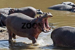 Flusspferd (Hippopotamus amphibius), oder Nilpferd oder Großflusspferd