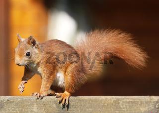 Aufmerksames Rotes Eichhörnchen / Sciurus vulgaris