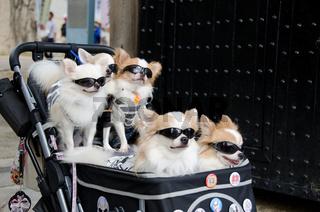 Kinderwagen mit fünf Hunden und Sonnenbrillen
