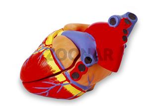 Modell eines menschlichen Herz