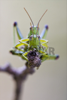 front close  of two grasshopper having sex