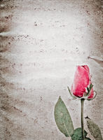 red rose flower old grunge paper texture