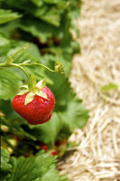 Strawberry on a Field