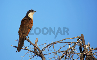 Spornkuckuck, Coucal, Moremi Game Reserve, Botswana, Botsuana