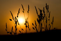 Silhouette of grass on a great summer sunrise background