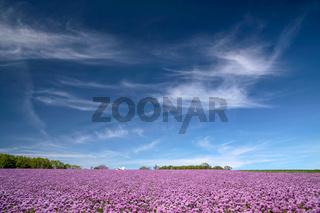 Blooming onion field under blue sky