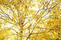 Fall trees and yellow leaves background