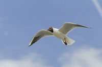 Lachmwe,Chroicocephalus ridibundus, black headed gull