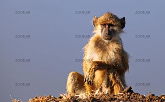 Steppenpavian im Morgenlicht, Gelber Pavian, South Luangwa Nationalpark, Sambia, Zambia; papio cynocephalus; savanna baboon