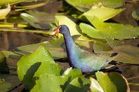 Purpurhuhn (Porphyrio porphyrio) im Nationalpark Everglades in Florida