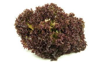 Lollo Rosso Salat