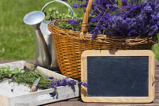 Lavendel Erntezeit